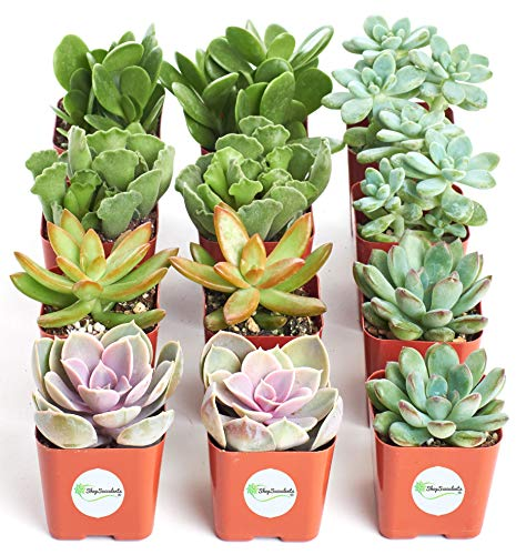 Shop Succulents | Assorted Collection of Live Succulent Plants, Hand Selected Variety Pack of Mini Succulents | Collection of 12