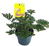 """Citronella Mosquito Plant - West Nile Virus - 6"""" Pot"""