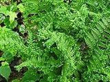 Dryopteris filix-mas Crispa Cristata - Crested Male Fern - 3 Plants in 9cm Pots