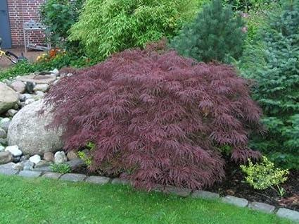 Amazoncom Acer Palmatum Dissectum Atropurpureum Red Laceleaf