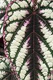 Cissus Discolor (1 Tray ( 72 – 2 inch plants))
