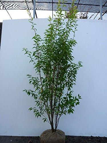 ハイノキ 樹高1.5m前後 根巻 株立ち 灰の木 はいのき 常緑樹で5-6月に小さな白い花をたくさん咲かせます。 苗木 植木 苗 庭木 生け垣 B0191I75F4