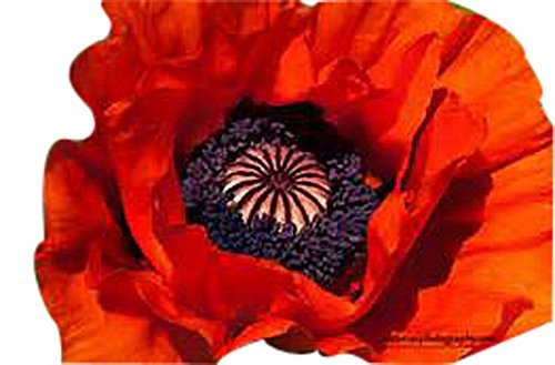 Perennial Poppies - 10,000 Red Oriental Poppy Seeds - Perennial