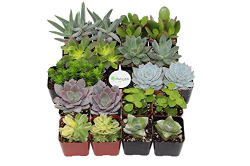 Shop Succulents Assorted Succulent (Collection of 20)