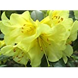 9cm Pot Dwarf Rhododendron Teal Clear Yellow Flowers Garden Shrub Plant