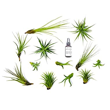 12 Air Plant Terrarium Kit - Tillandsia Variety Pack with Fertilizer Bottle - Assorted Species of Live Air Plants for Sale - Bulk Indoor House Plants by Aquatic Arts