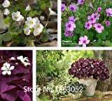 Pack 200 Seed Red Wood Sorrel Seeds Oxalis Corymbosa Four Leaf Clover Flower Seeds Rare Flower Seeds