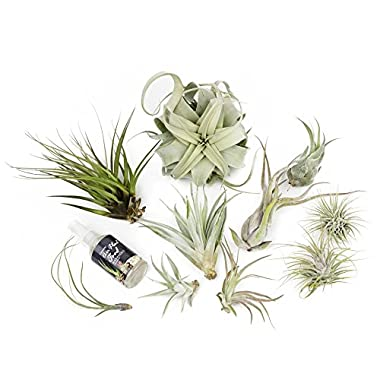 MakersKit Ultimate Xerographica Air Plant Collection, Set of Ten + Organic Plant Food