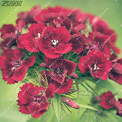 Amazon 200pcs pink dianthus seeds carnation seeds perennial 200pcs pink dianthus seeds carnation seeds perennial flowers potted plants white sweet william flower bonsai 5 mightylinksfo
