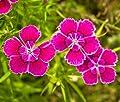 MAIDEN PINKS Dianthus Deltoides - 5,000 Bulk Seeds