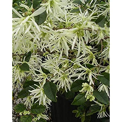 Glowing Horizons Carolina Moonlight Loropetalum - 3 Gallon : Garden & Outdoor