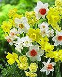 Burpee's Smiling Maestro Daffodil - 10 Flower Bulbs   Gold & Orange   12 - 14cm Bulb Diameter