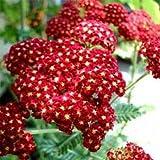 Outsidepride Yarrow Rubra - 5000 Seeds
