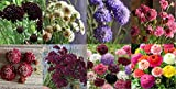 David's Garden Seeds Collection Set Flower Scabiosa Open Pollinated 8583SV (Multi) 8 Varieties 400 Seeds (Non-GMO, Open Pollinated)
