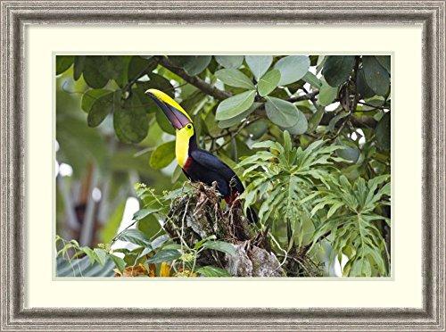 Framed Art Print 'Chestnut-mandibled Toucan in trees, Costa Rica' by Konrad (Chestnut Mandibled Toucan)