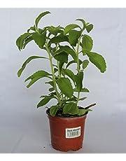 Estevia (Maceta 10,5 cm Ø) - Planta viva - Planta aromatica