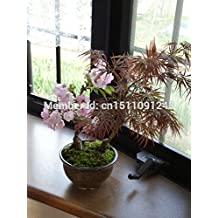 mini bonsai Japanese cherry blossom seeds a pack of 10 plants, bonsai tree