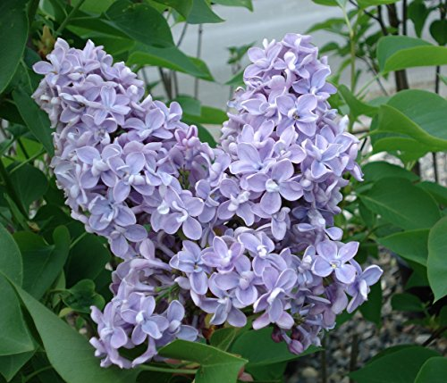 President Grevy Blue French Lilac ( Syringa ) - Live Plant - Quart (Butterfly Bush Shade)