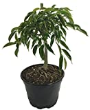 Stylized Oriental Weeping Fig Tree - Ficus - Bonsai or House Plant - 6'' Pot