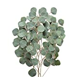 Farm Fresh Natural Silver Dollar Eucalyptus - Pack 40