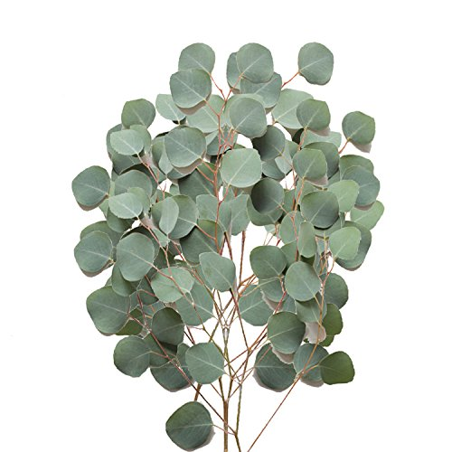 Farm Fresh Natural Silver Dollar Eucalyptus - Pack 40 by Bloomingmore