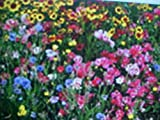 ONE & ONE/HALF (1-1/2) POUNDS PERENNIAL 25-VARIEY WILD FLOWER SEEDS MIXTURE