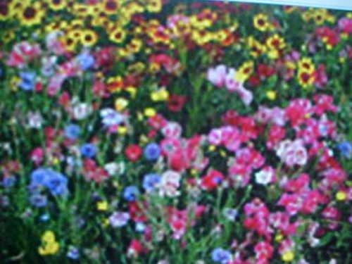 ONE & ONE/HALF (1-1/2) POUNDS PERENNIAL 25-VARIEY WILD FLOWER SEEDS MIXTURE