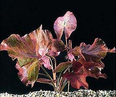 Bulbo de red tiger lotus para acuario, planta tropical ideal ...