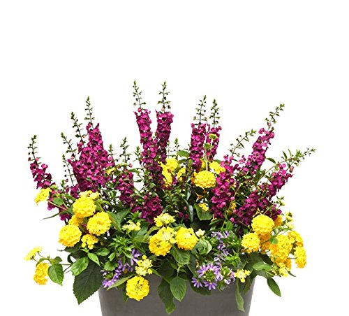 Burpee Combo 'Daydream' - Create Instant Colorful Container Gardens with Four 4 in. pots by Burpee (Image #5)
