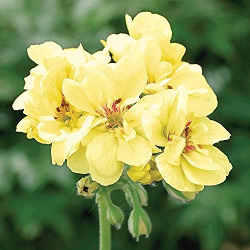 Seeds Custard Cream Pelargonium Perennial Flower Seeds Bonsai Plant 10 Seeds (Yellow Custard)
