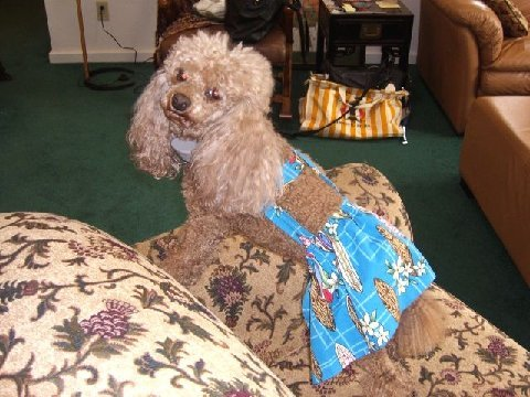 Joybies XXX Small Tropic bluee Piddle Skirt for Female Dog ( 7-9 inches   17.78 cm 22.86 cm Along Spine , Collar to Tail Base )