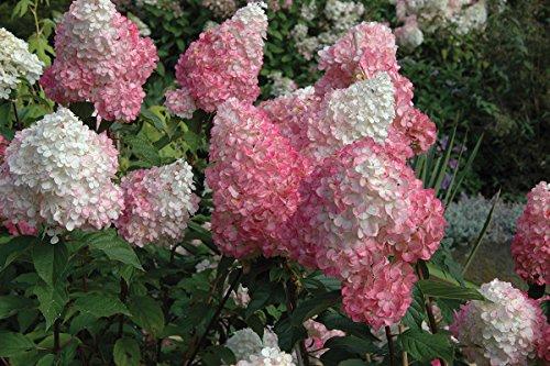 Vanilla Strawberry Pink Hydrangea - Live Plant - 3 Gallon - Tree Hydrangea