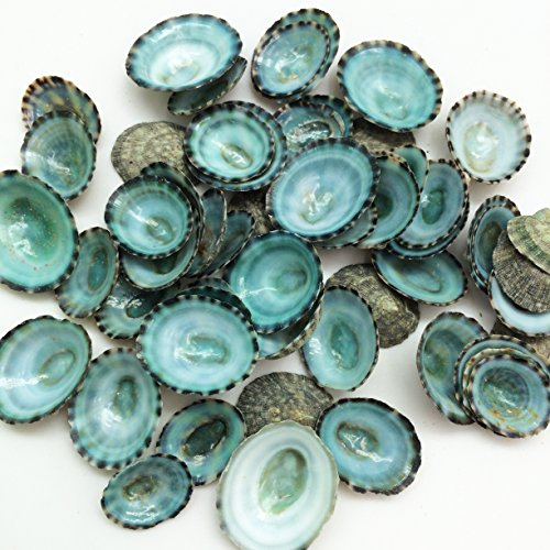 PEPPERLONELY 50PC Green Limpet Shells Craft Sea Shells, 1/2 Inch ~ 1 Inch
