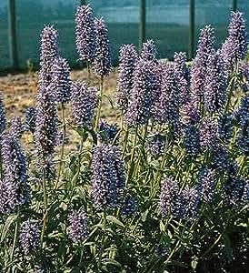 Nepeta (Catmint) nervosa Blue Carpet 250 seeds