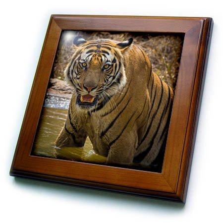 (3dRose Danita Delimont - Big Cats - India, Bandhavgarh Tiger Reserve. Fierce gaze of a Bengal tiger. - 8x8 Framed Tile (ft_276807_1))