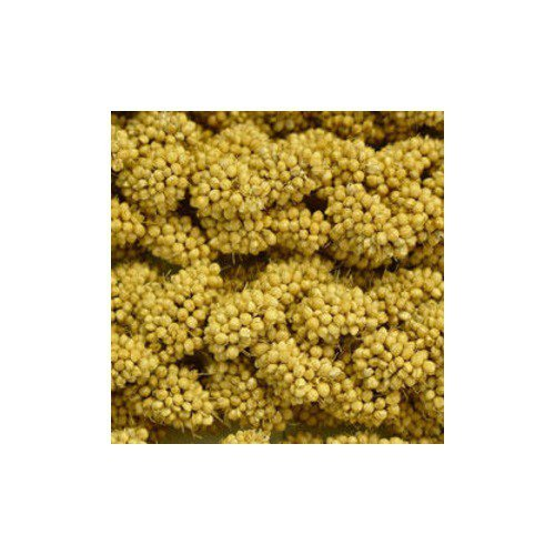 Spray Gold Millet (Dogswell Higgins 5 lb Spray Millet, 1 Pack, One Size)