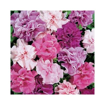 Double Cascade Mix Petunia Seeds Seed Pack : Flowering Plants : Garden & Outdoor