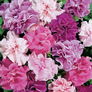 (Double Cascade Mix Petunia Seeds Seed Pack)