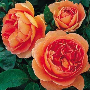 David Austin English Roses Pat Austin by David Austin English Roses (Image #1)