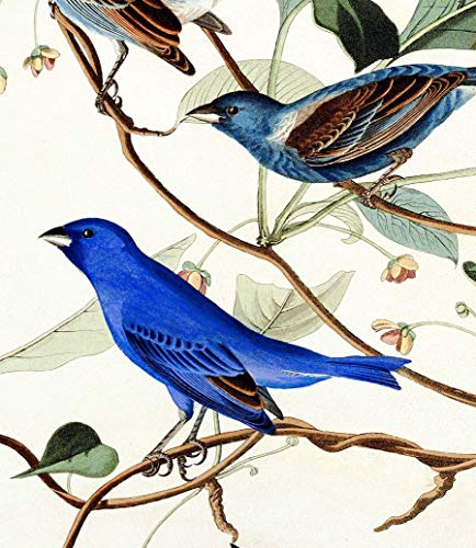 Stretched Canvas Print Wall Painting Home Decor Fine Art Natue Artwork John James Audubon Indigo Bird Blue 12x17