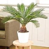 SS0144 Sago Palm Tree Tropical Plant Indoor Live Outdoor Garden Houseplan Best Gift NEW