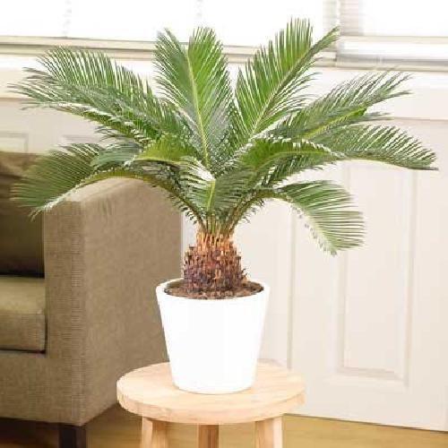 Sago Palm Tree Tropical Plant Indoor Live Outdoor Garden Houseplan Best Gift (Indoor Sago Palm)