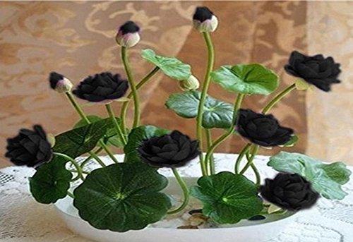 NEW! 10 Pcs SEEDS bowl lotus hydroponic plants aquatic plants flower pot water lily (Net Pot Dome)