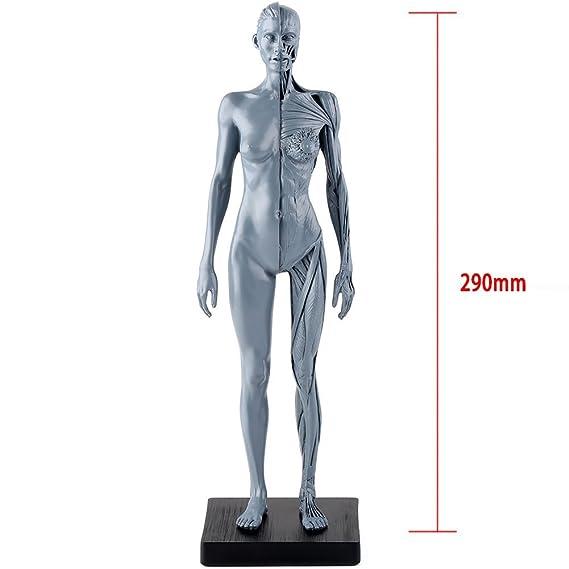 Amazon Human Body Model Muscle Anatomy Model High Quality 30 Cm
