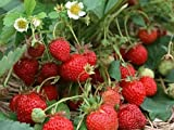 Hirts Evie Everbearing Strawberry Plants, 25 Bare Root