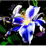 Go Garden 2pcs / Bag Rare Blue Lily Bulb, Not Lily Potted Plant, It is Bulb, Bonsai Lily Bulb, Pleasant Fragrance, Home and Garden Plants: 3