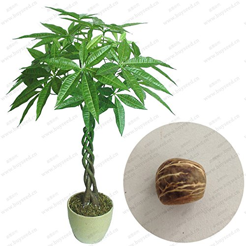 NEW Braid pachira big money tree seeds bonsai tree seeds money tree seeds, 1 seeds/pack (Big Money Tree Plant)