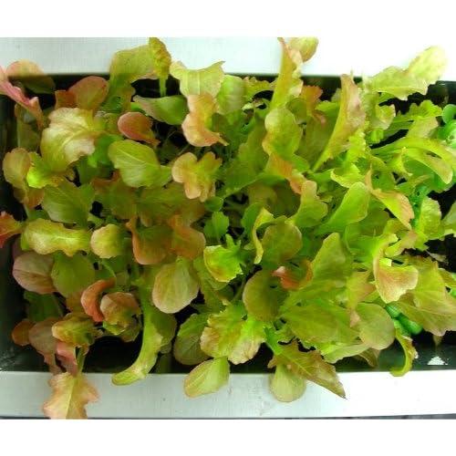 Red Salad Bowl Lettuce Seeds- Heirloom- 1,000+ Seeds by Ohio Heirloom Seeds