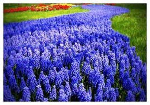 Portal Cool Pedido con anticipación 60 X'Muscari Armeniacum' Los bulbos de floración temprana primavera Tamaño 7/8