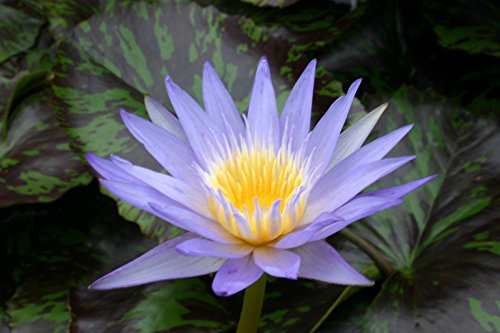 BLUE WATER LILY, STAR OF SIAM SOLD AS: BARE ROOT